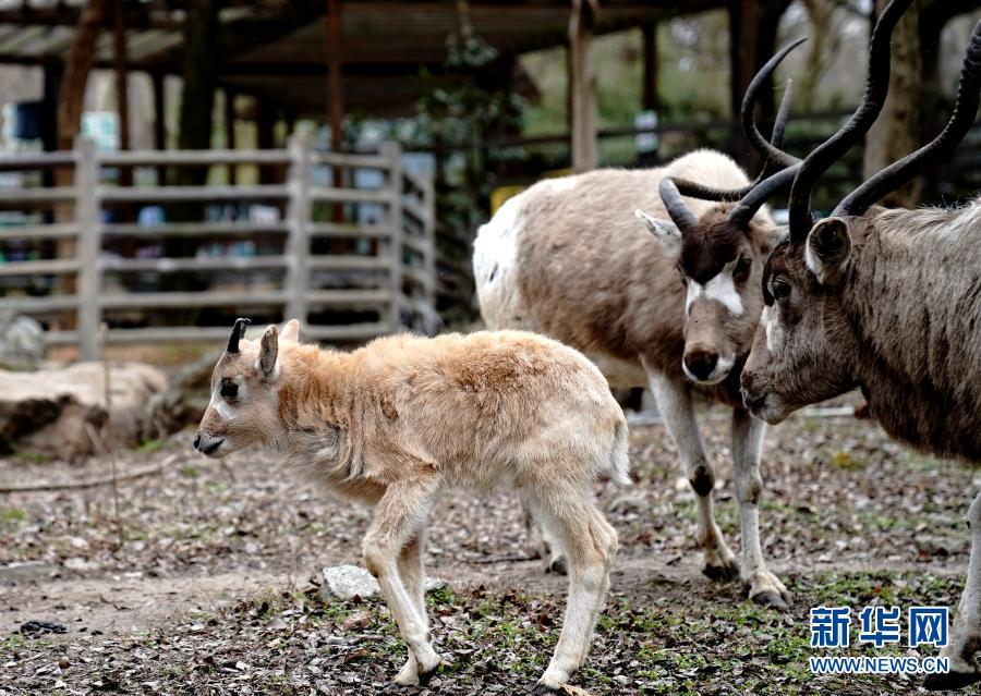 """上海动物园""""牛科宝宝""""亮相"""